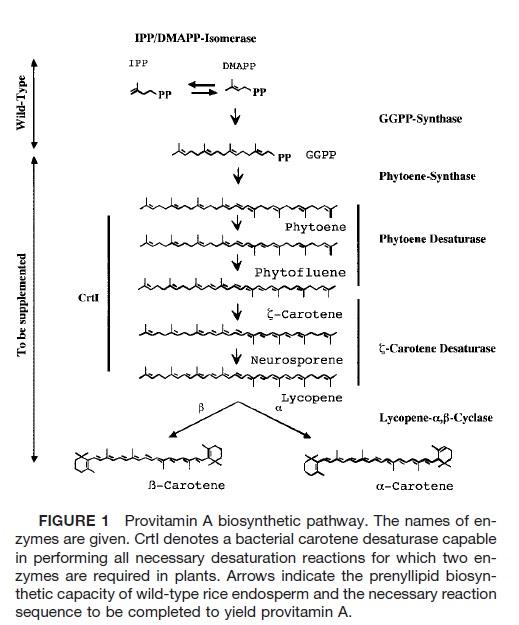 vitA pathway.jpg